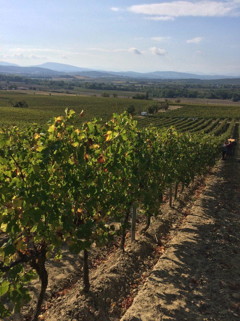 Vigne Château Guilhem